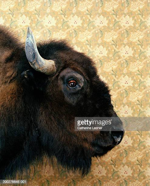 American bison (bison bison) in front of wallpaper, profile