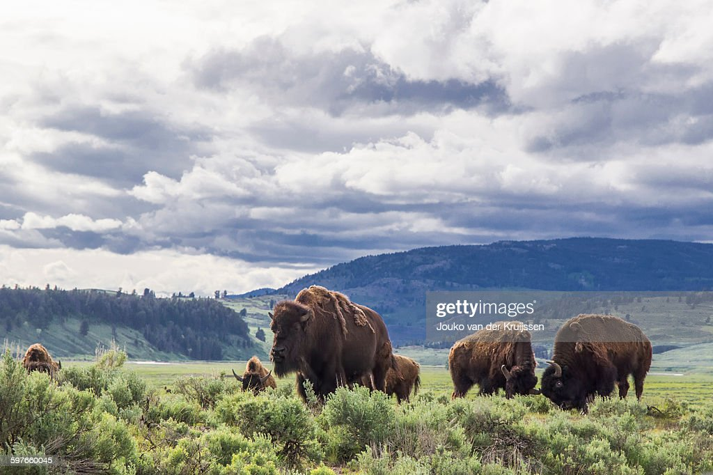 American bison in Lamar Valley, Yellowstone National Park, Wyoming, USA : Stock Photo