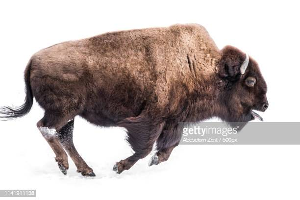 american bison in snow - buffalo stock pictures, royalty-free photos & images