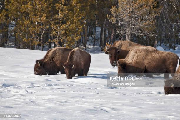 American Bison in Winter Snow at Yellowstone National Park WY