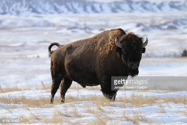 American Bison On Snowcapped Field During Winter