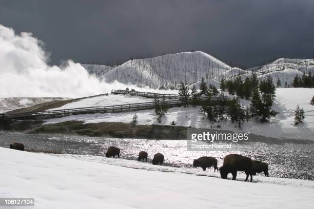 american bison roaming in snow near yellowstone geyser - yellowstone river stock photos and pictures