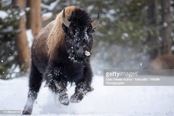 american bison running in winter snow - national park stock pictures, royalty-free photos & images