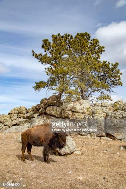 American Bison (Buffalo) scene - portrait