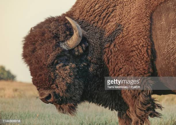 american bison standing on field - buffalo stock pictures, royalty-free photos & images