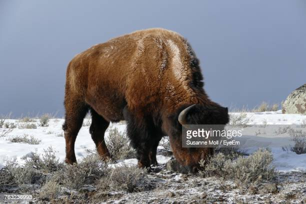 American Bison Standing On Snow Field Against Clear Sky