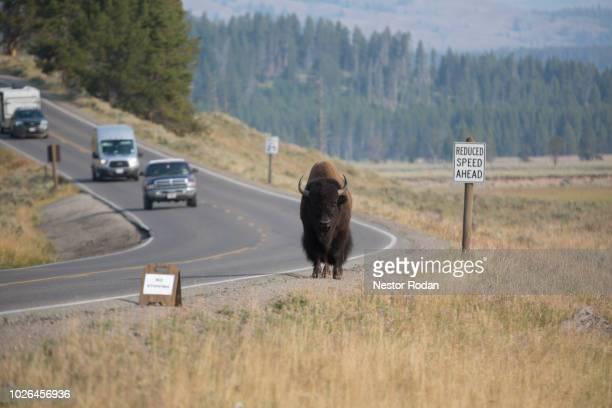 American bison (Bison bison) walking along road, Yellowstone National Park, Wyoming, USA