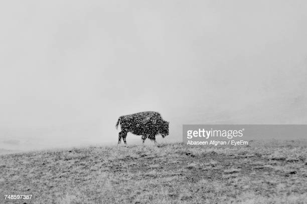 American Bison Walking At Yellowstone National Park During Winter