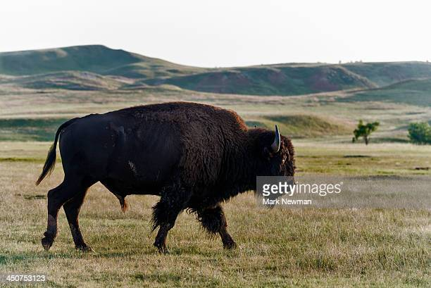 American Bison (Buffalo), Wind Cave National Park