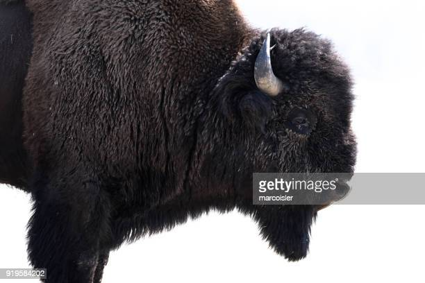 american bison, yellowstone national park, wyoming, america, usa - buffalo stock pictures, royalty-free photos & images