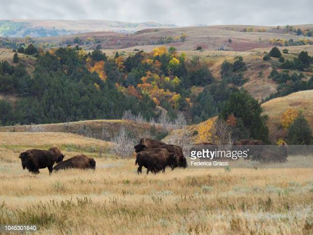 american bisons grazing at theodore roosevelt national park, north unit - great plains stock pictures, royalty-free photos & images