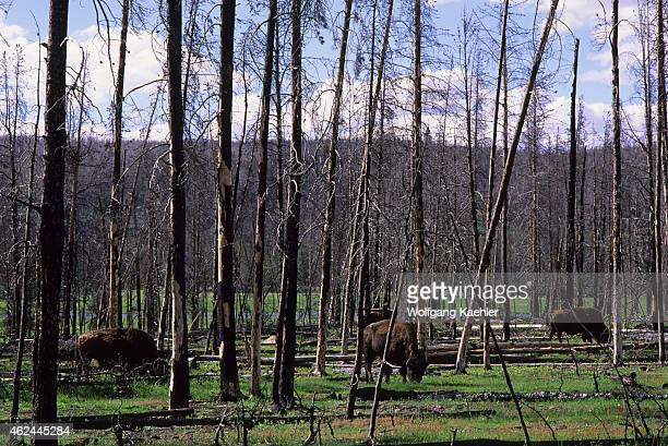 American bisons grazing in burned forest in Yellowstone National Park in Wyoming United States