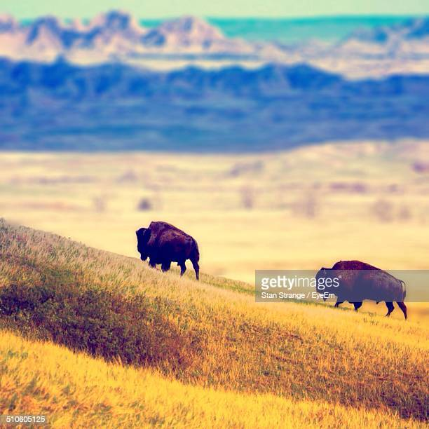 American bisons grazing