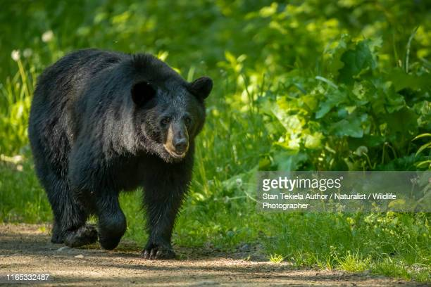 american black bear adult male - black bear stock pictures, royalty-free photos & images