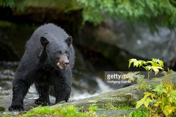 American black bear at creek at Neets Bay fish hatchery Behm Canal in Southeast Alaska near Ketchikan USA