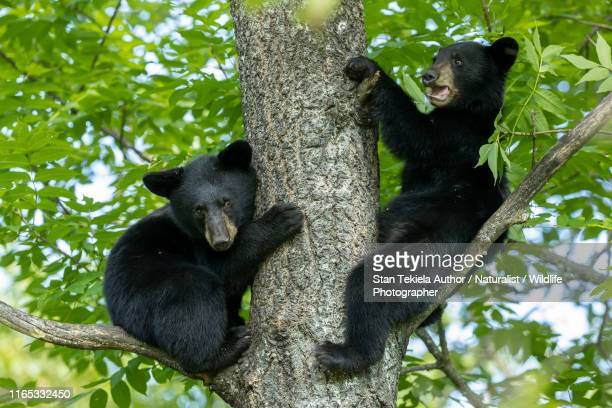 american black bear cubs in tree - bear cub stock pictures, royalty-free photos & images