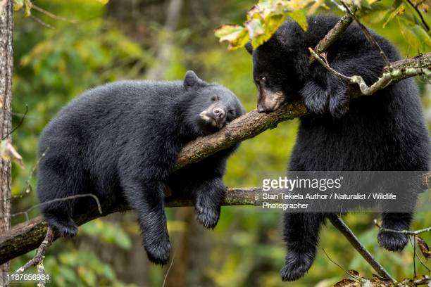 american black bear cubs in tree sleeping - animals in the wild stock pictures, royalty-free photos & images