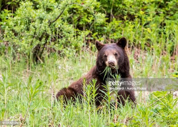 American black bear (Ursus americanus) eating grass, Callaghan Valley, Whistler, British Columbia, Canada