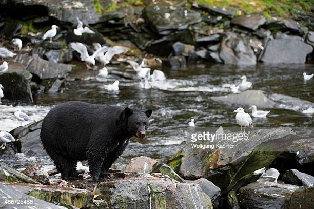 American black bear feeding on salmon eggs at creek at Neets Bay fish hatchery Behm Canal in Southeast Alaska near Ketchikan USA