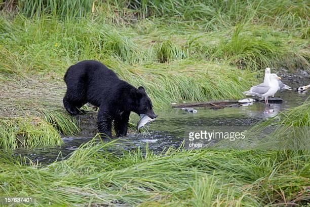 American black bear fishing salmon...Valdez,Alaska