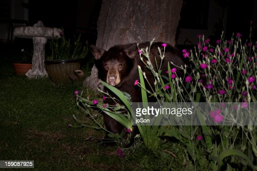 American Black Bear In Backyard At Night High-Res Stock ...