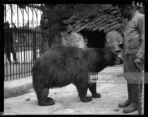 American Black Bear in cage with an unidentified man with a pipe in his mouth Man is probably a keeper for Lincoln Park Zoo Chicago Illinois 1900