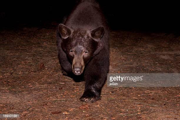 American black bear (Ursus americanus) in forest