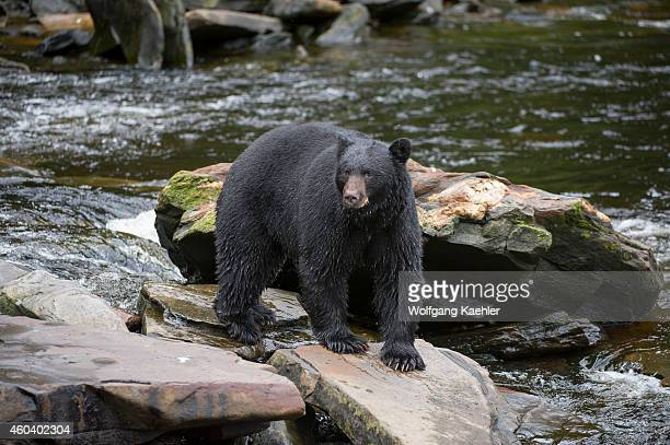 American black bear looking for salmon at creek at Neets Bay fish hatchery, Behm Canal in Southeast Alaska near Ketchikan, USA.