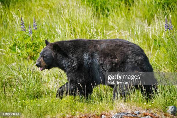 american black bear - black bear stock pictures, royalty-free photos & images