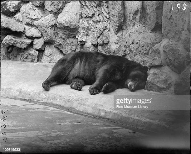 American Black Bear sleeping in his outdoor pen or grotto Lincoln Park Zoo Chicago Illinois 1900