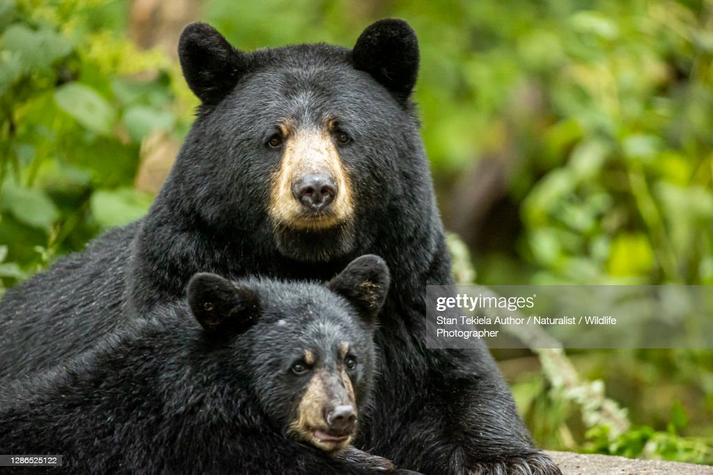 American Black Bear sow and cub together : Stock Photo