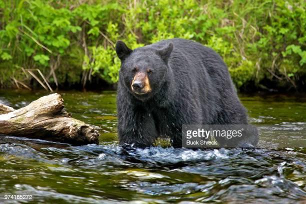 american black bear (ursus americanus) walking in river, kenia, alaska, usa - black bear stock pictures, royalty-free photos & images