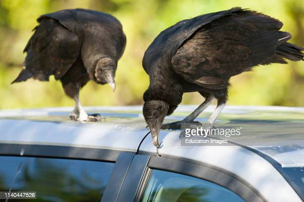 American Black Vulture, Coragyps atratus, pulling at rubber seal on parked car at Anhinga Trail Florida.