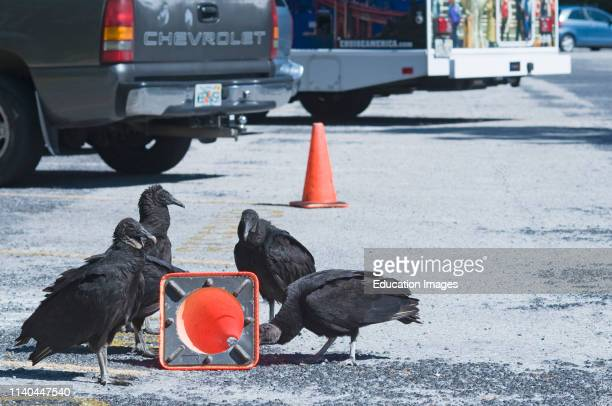 American Black Vultures Coragyps atratus trying pull a traffic bollard apart in car park at Anhinga Trail Florida