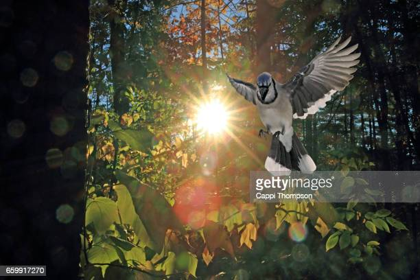 American Blue Jay flying in the autumn forest