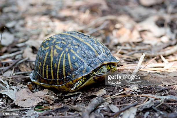 American Box Turtle Hiding Until Safe To Continue Along Its Path