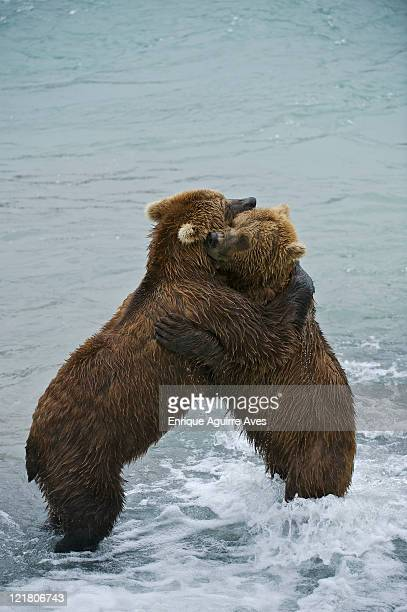 american brown bear or grizzly bear (ursus arctos horribilis) males fighting on hind legs, mcneil river sanctuary, alaska, usa - hairy bum stock pictures, royalty-free photos & images