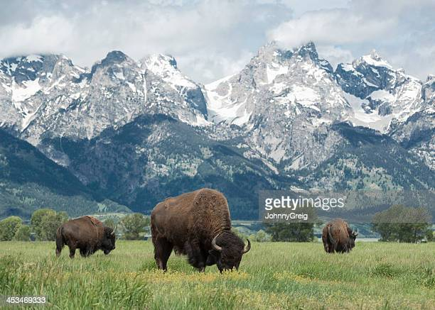 american buffalo - national park stock pictures, royalty-free photos & images
