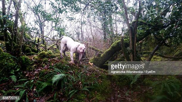 american bulldog in forest - american bulldog stock photos and pictures