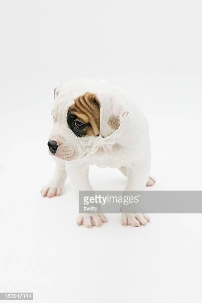 American Bulldog Isolated