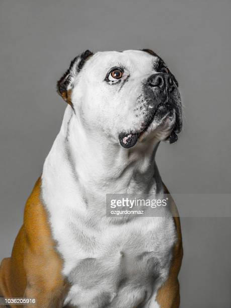 american bulldog looking up - american bulldog stock photos and pictures