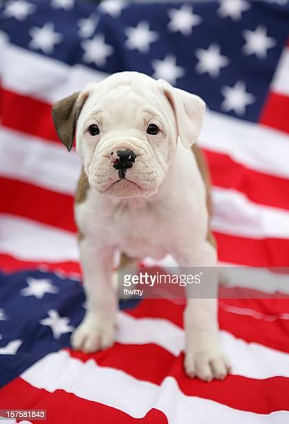american bulldog pup - american bulldog stock photos and pictures