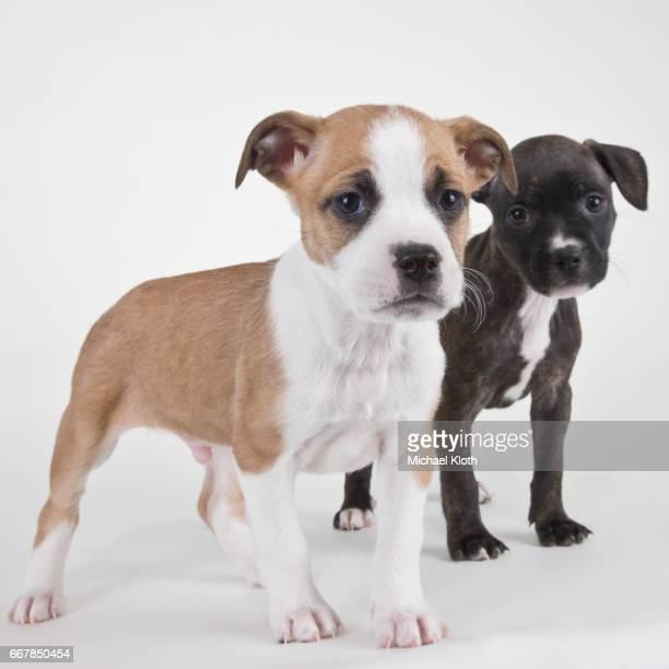 american bulldog puppies - american bulldog stock photos and pictures