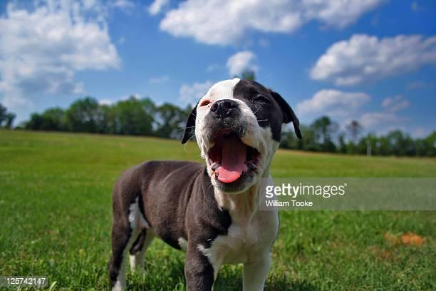 american bulldog puppy - american bulldog stockfoto's en -beelden