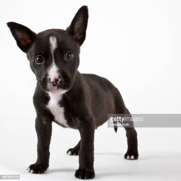 american bulldog puppy - american bulldog stock photos and pictures