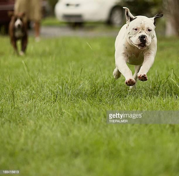 american bulldog standar type - american bulldog stock photos and pictures
