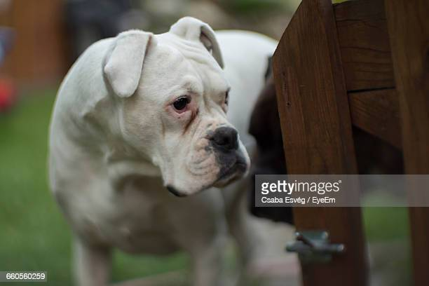 American Bulldog Standing By Wooden Railing
