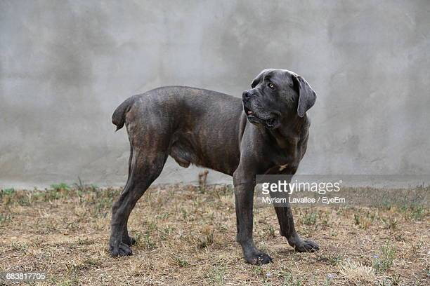 american bulldog standing on field against wall - american bulldog stock photos and pictures