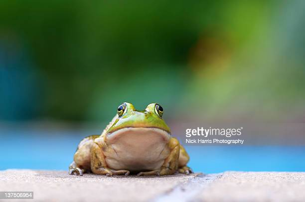 american bullfrog by pool - bullfrog stock pictures, royalty-free photos & images