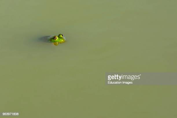 American bullfrog floating at the surface of a farm pond in Kentucky USA
